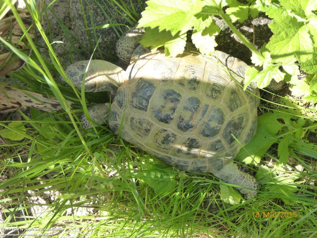 18.05.2015 Schildkröten wechseln in die Sommerresidenz