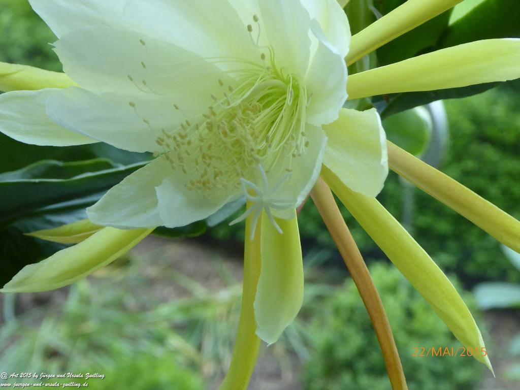 22.05.2015 blühender Epiphyllum