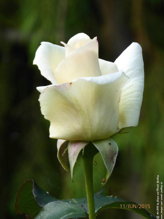 11.06.2015 Weiße Rose aus Mainz