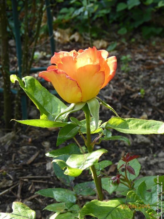 12.06.2015 Lachsfarbene Rose im Morgen Sonnenschein
