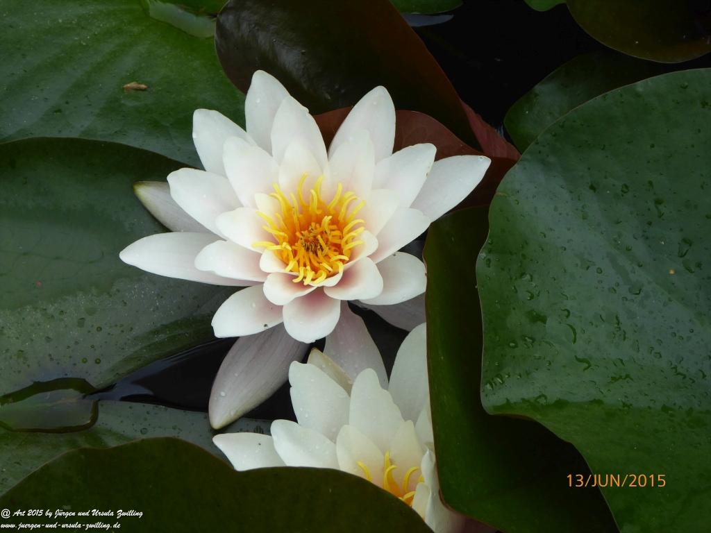 13.06.2015 Weiße Seerosen (Nymphaea)