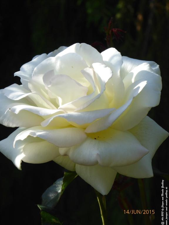 14.06.2015 Weiße Rose aus Mainz in voller Blütenpracht