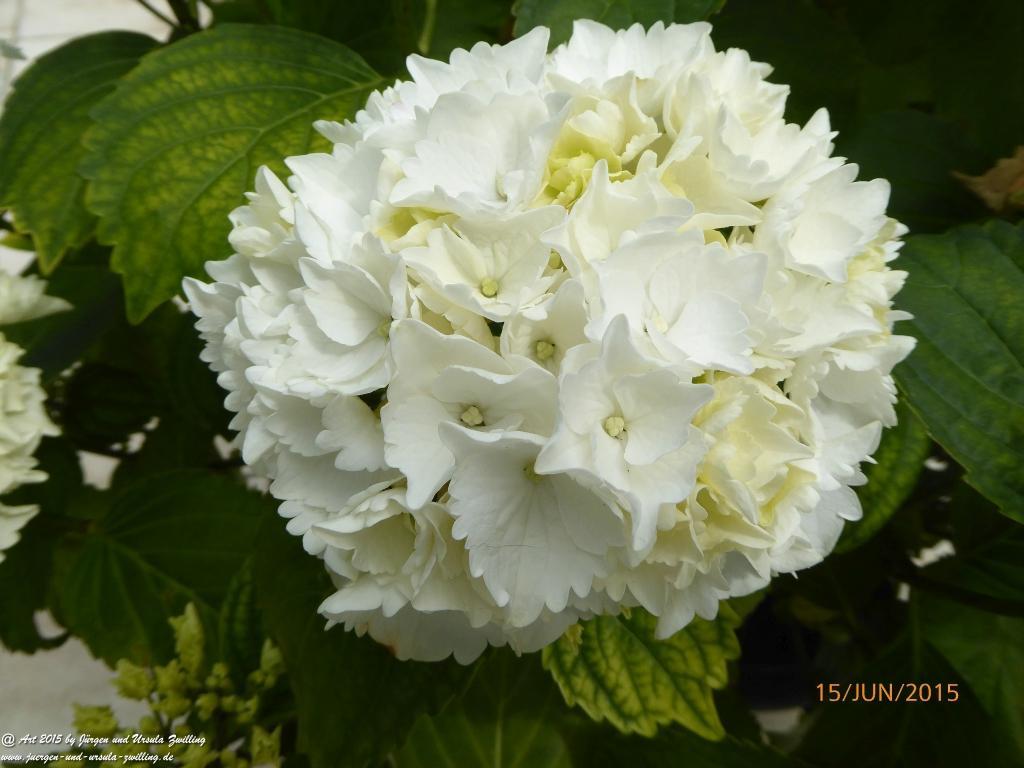 15.06.2015 Blütenstart der weißen Hortensien (Hydrangea)