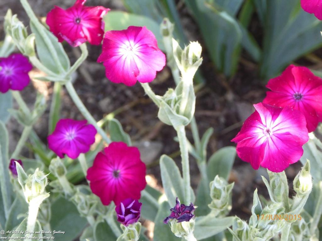 17.06.2015 - Rote Lichtnelke (Silene dioica)