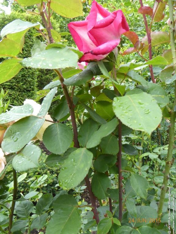 24.06.2015 - Nostalgie-Rose
