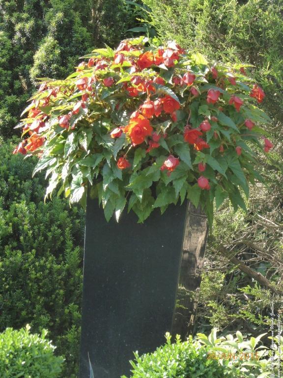 26.06.2015 Begonien (Begonia)