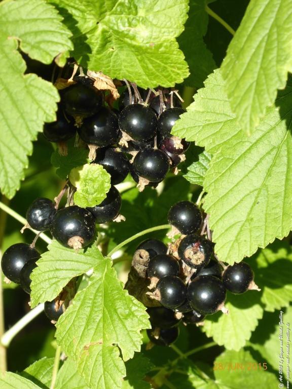 28.06.2015 - Schwarze Johannisbeere (Ribes nigrum)