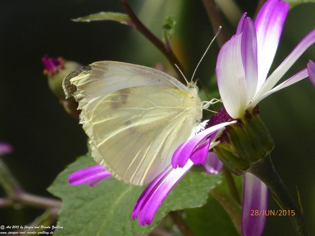 28.06.2015 Sonntagsbesuch - Schmetterling
