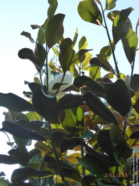 02.07.2015  Erste Blüte der Immergrünen Magnolie (Magnolia grandiflora )