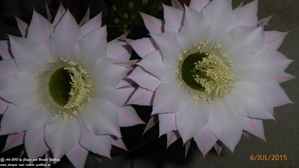 07.07.2015 - Echinopsis ein Tag und Nacht blühender Kaktus