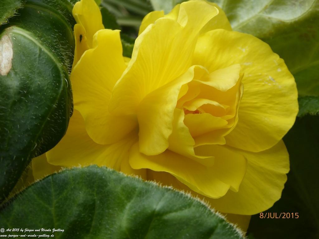 13.07.2015 Begonien (Begonia) in gelb