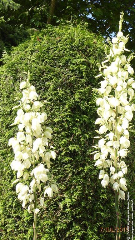 15.07.2015 Palmlilie (Yucca filamentosa)