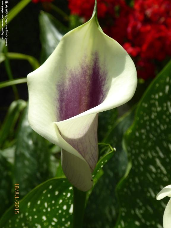 19.07.2015 Zantedeschia aethiopica Calla crowsborough
