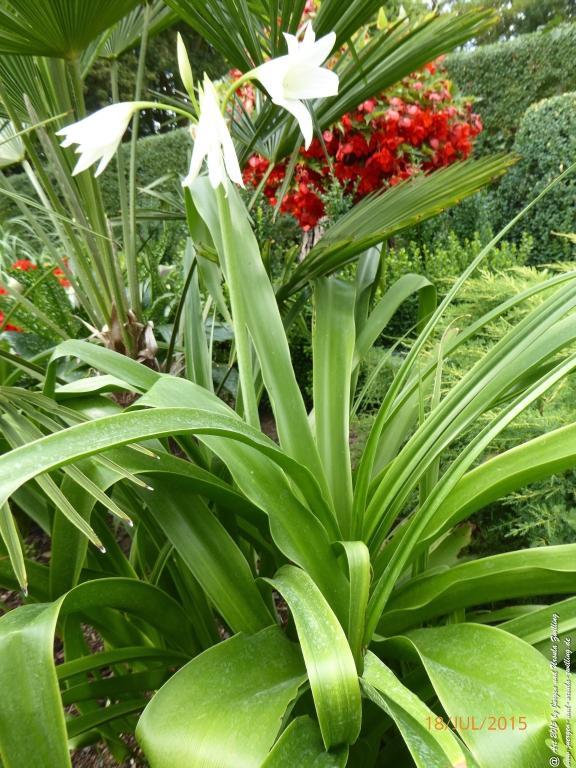 18.07.2015 Hakenlilien (Crinum) in weiß