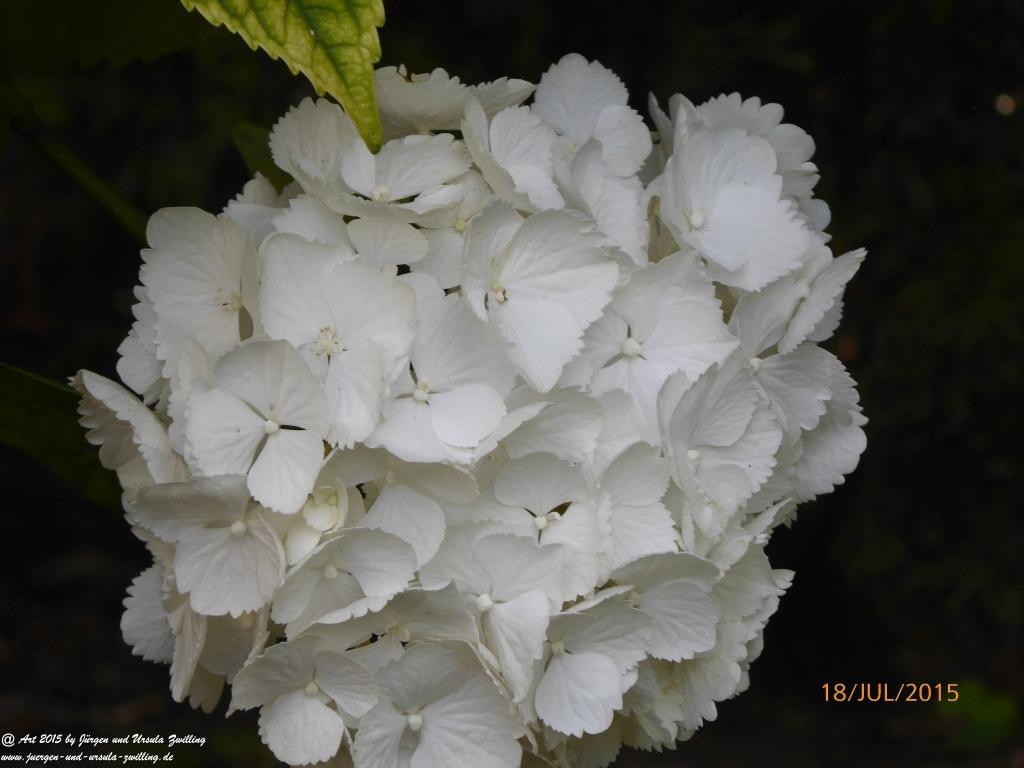 22.07.2015 Hortensien (Hydrangea) in weiß