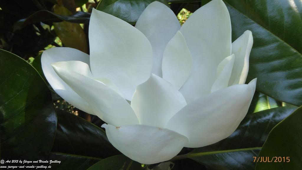 25.07.2015 Blüte der Immergrünen Magnolie (Magnolia grandiflora )