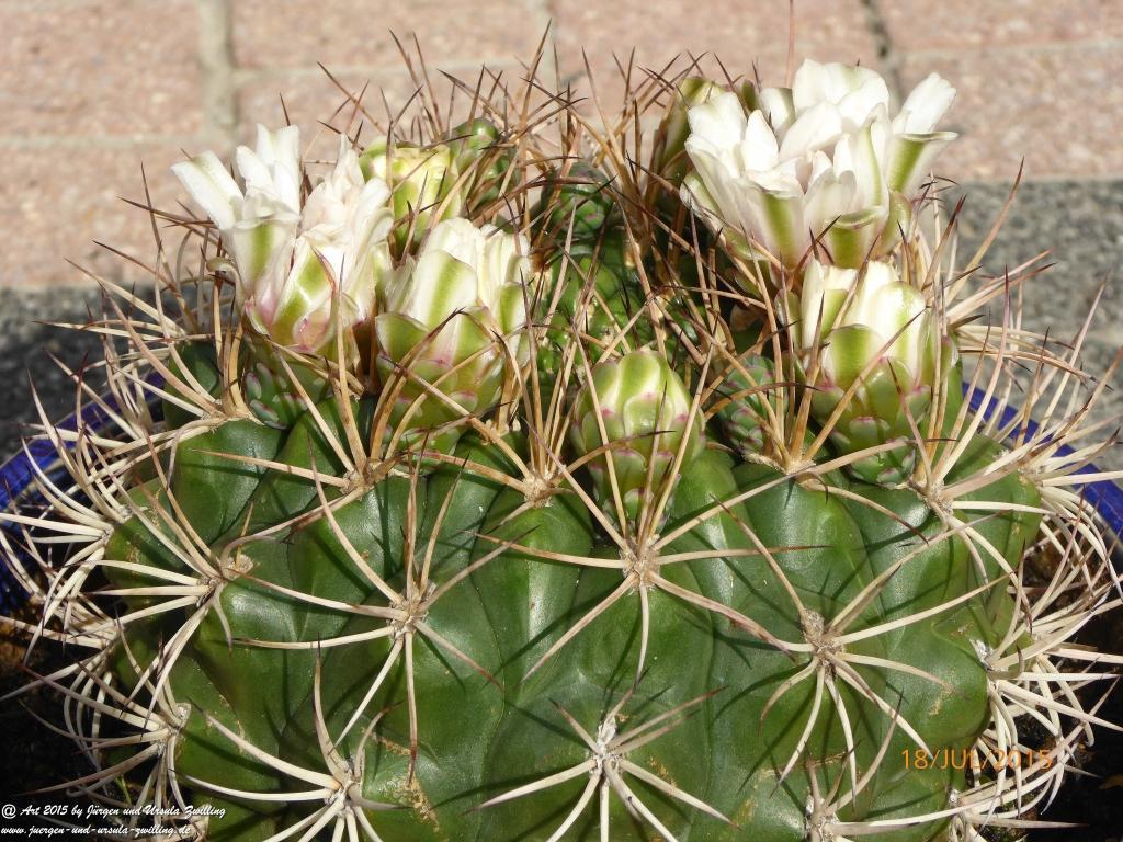 31.07.2015 Blühender Parodia sellowii Kaktus