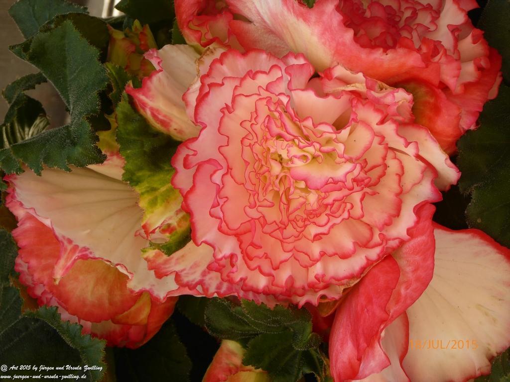 04.08.2015 Begonien in rosa pink weiß bei Tag und Nacht