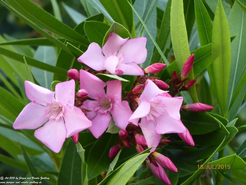 20.08.2015 Rosa Oleander