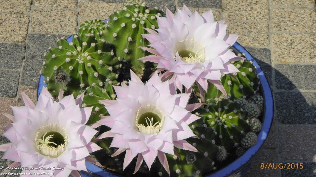 21.08.2015 Echinopsis ein Tag und Nacht blühender Kaktus