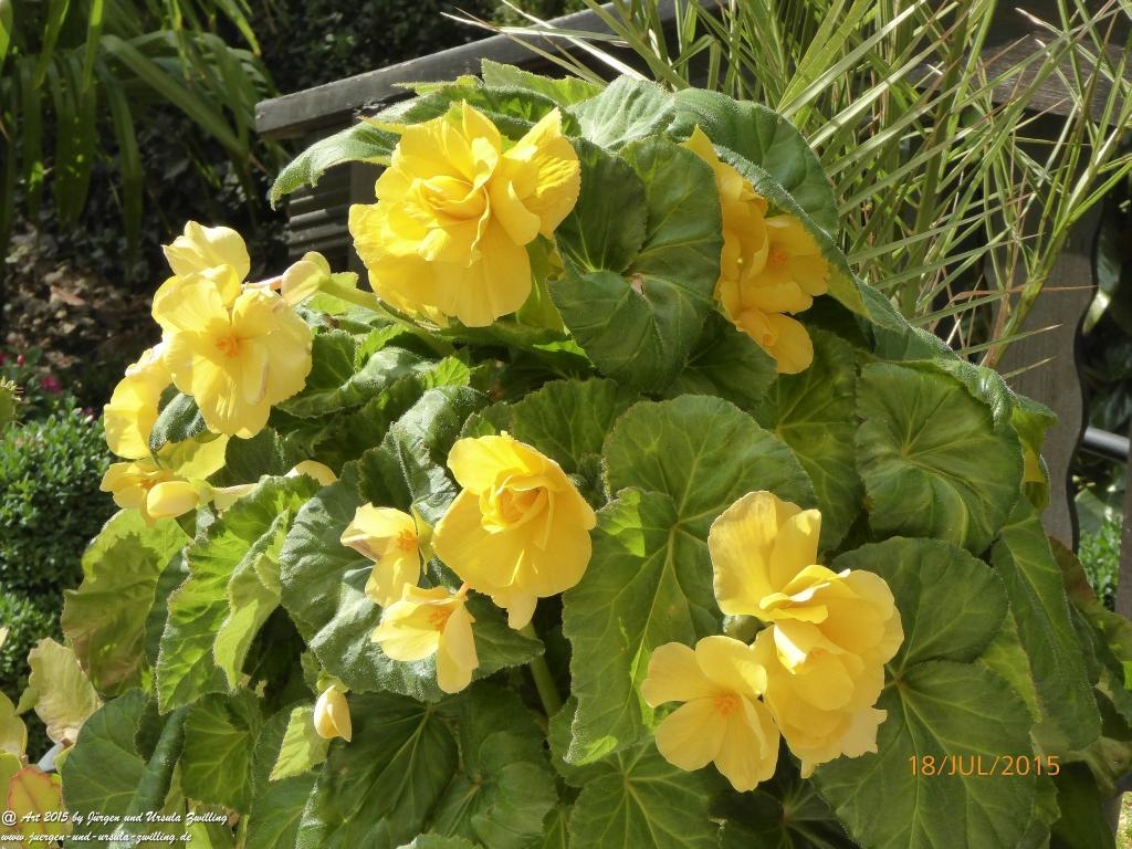 22.08.2015 Begonien (Begonia)