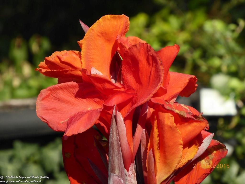 23.08.2015 Blumenrohr (Canna)