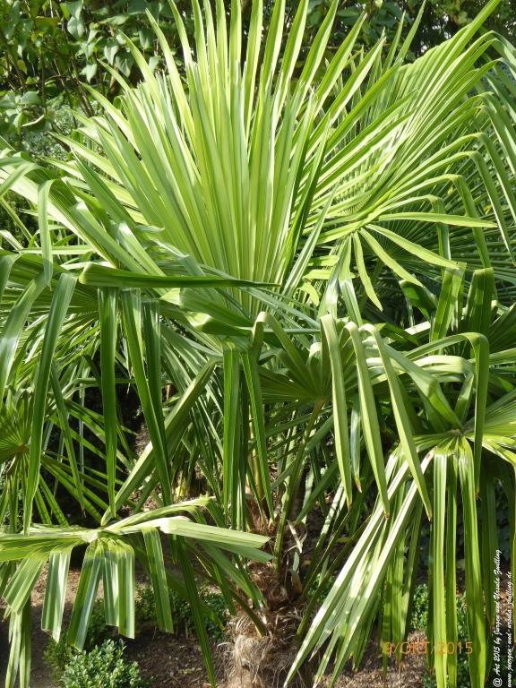 09.10.2015 aus Samen gezogene winterharte Palmen