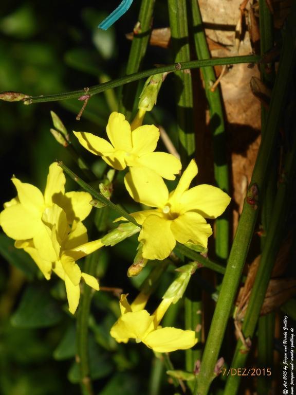 07.12.2015 Winterjasmin (Jasminum nudiflorum)