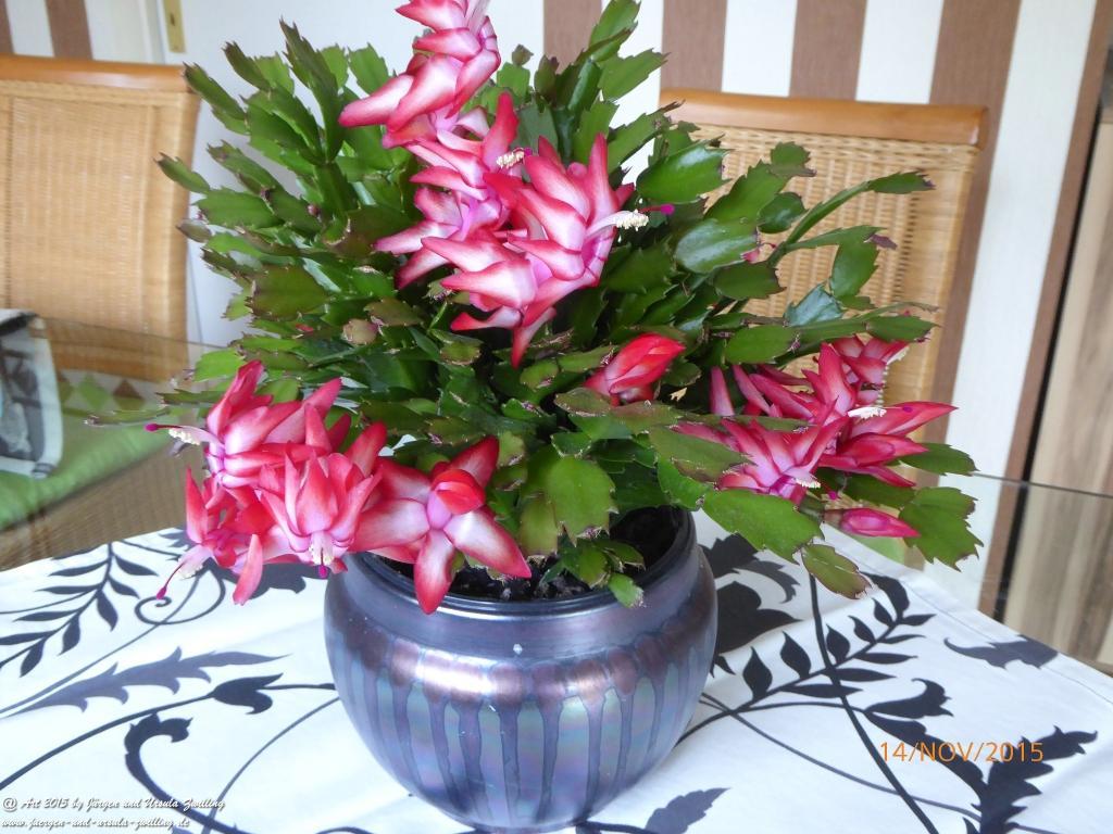 14.12.2015 Schlumbergera in voller Blüte nach Sommerholung im Garten