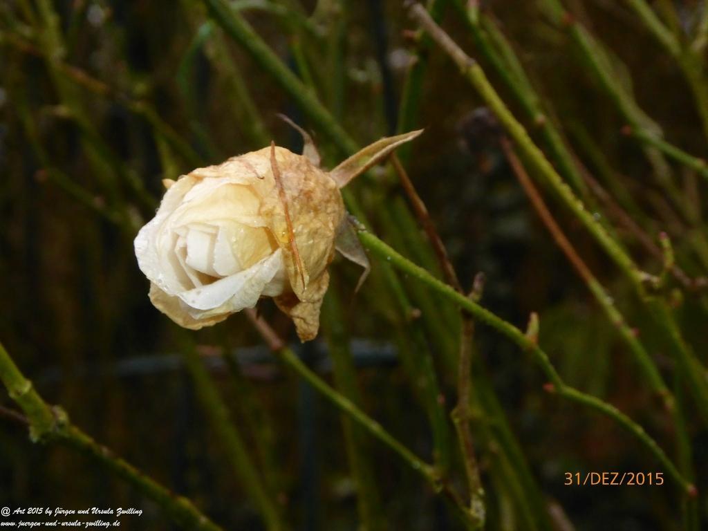 31.12.2015 Mit der letzten Rose 2015 - der Friedensrose - wünschen wir einen guten Rutsch in 2016