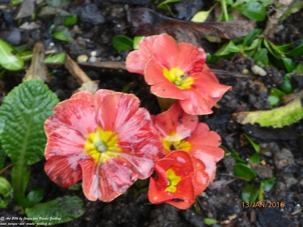 Blühende Primeln (Primula)  kurz vor Wintereinbruch