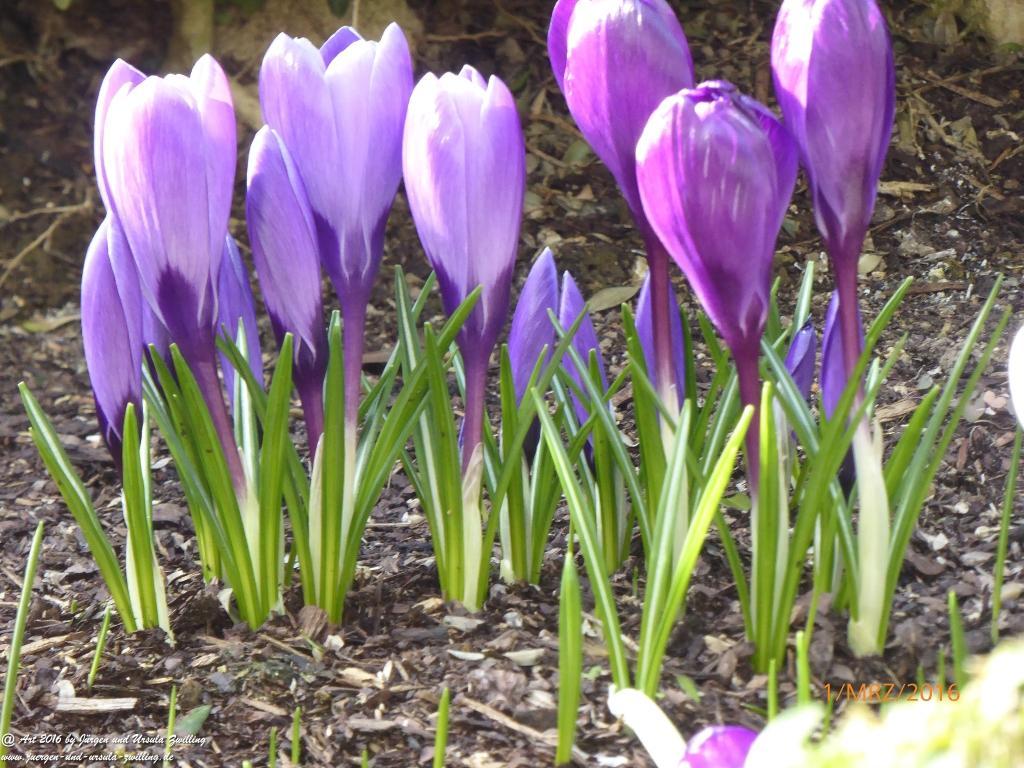 Frühlingsblick - Krokusse - Schneeglöcklichen - Primeln - Hyazinthe - Garten