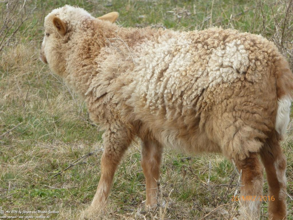 Schafsherde genießt Frühlings-start-up in Rheinhessen