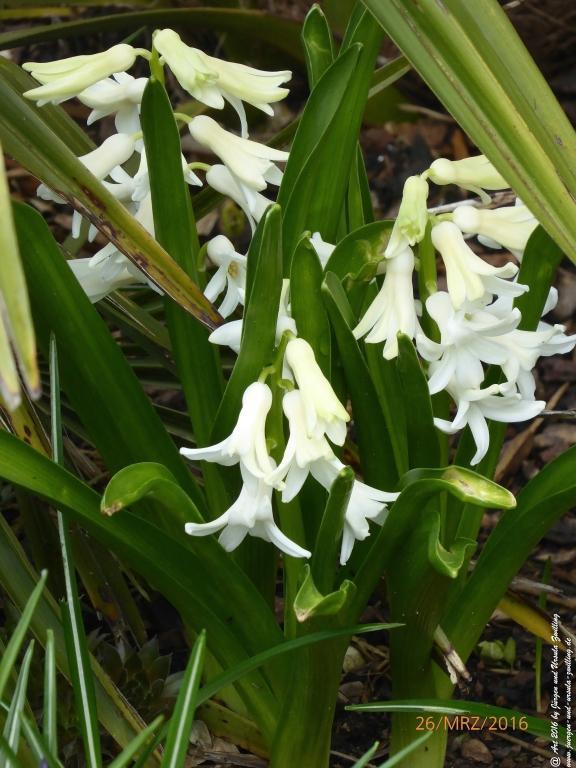 Narzissen (Narcissus) und Hyazinthen (Hyacinthus)
