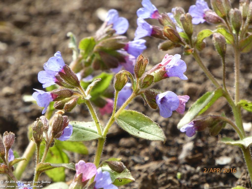 Echte Schlüsselblume (Primula veris), Buschwindröschen (Anemone nemorosa)  und Katze Mimi