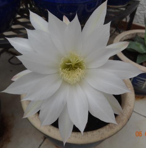 Einen Tag blühender Echinopsis Kaktus