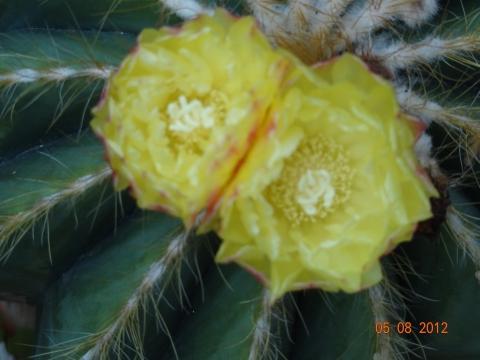 Blüte der Copiapoa humilis