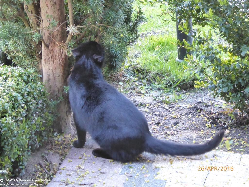 Katze Mimi bei Obstbaumblüte April - Mai