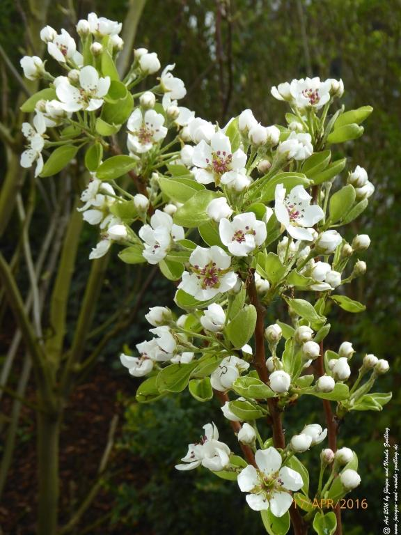 Obstbaumblüte April - Mai