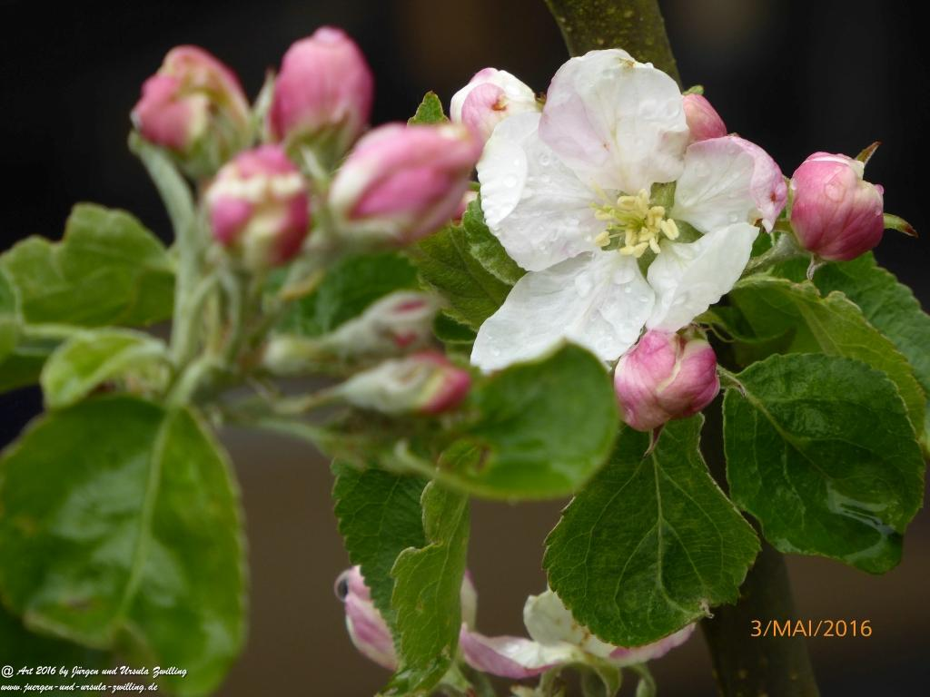 Obstbaumblüte April - Mai