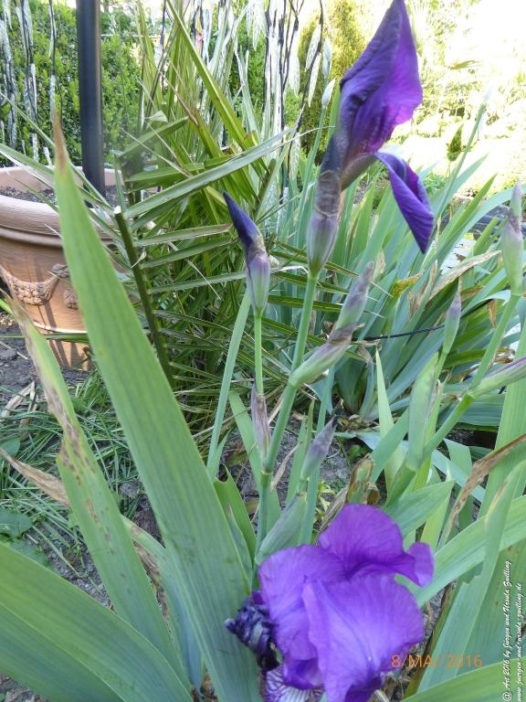 Lilien (Lilium) in lila