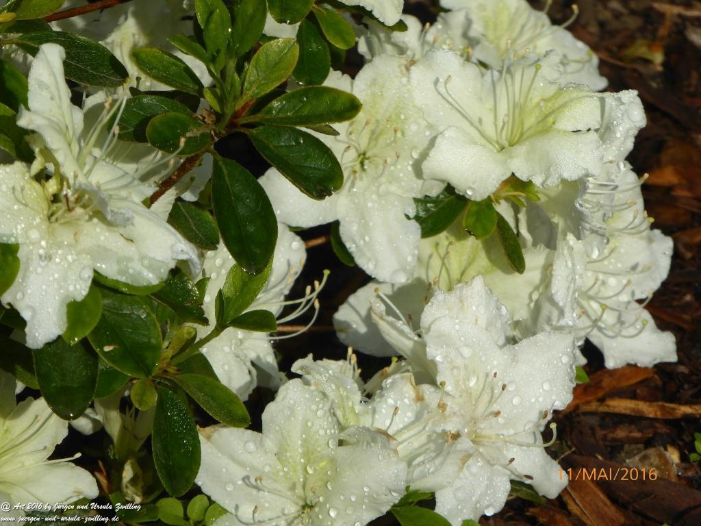 Azalee in weiß