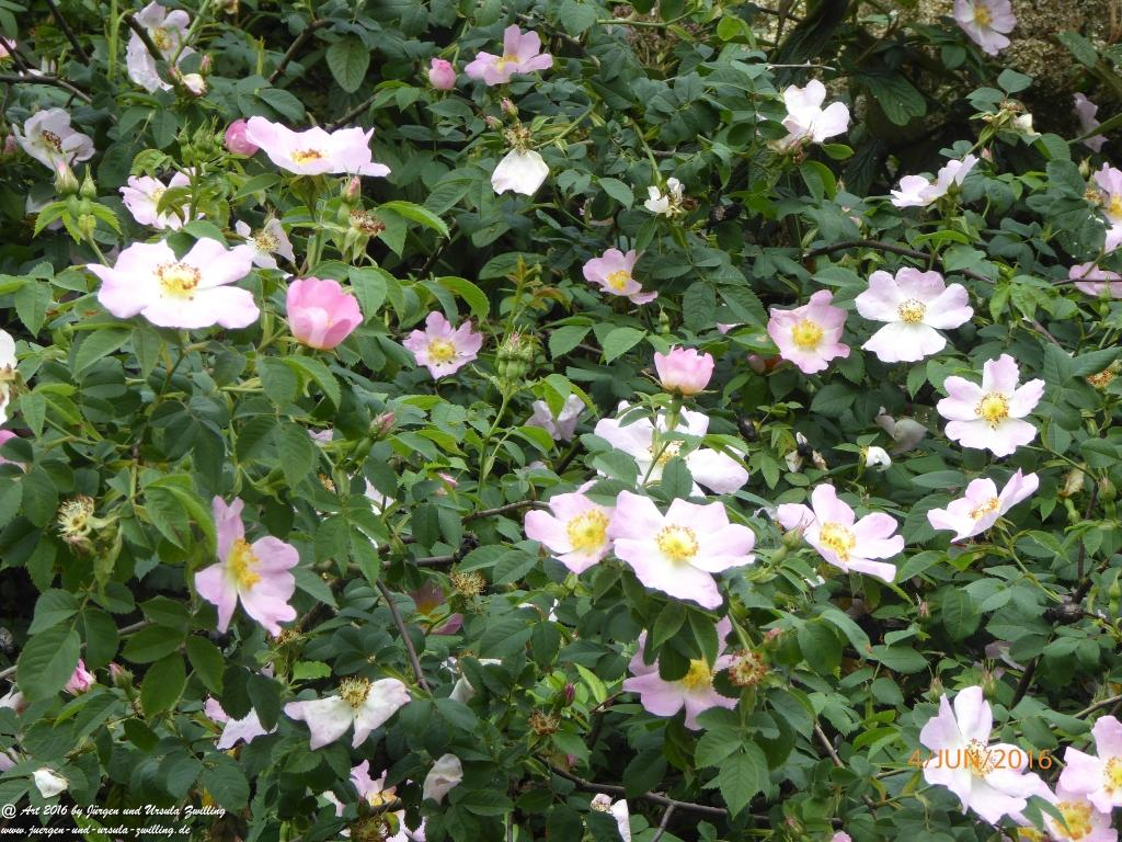 Hecken-Rose (Rosa corymbifera) oder Busch-Rose