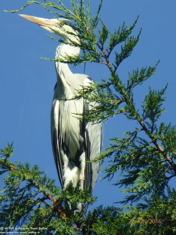 Reiher (Ardeidae)