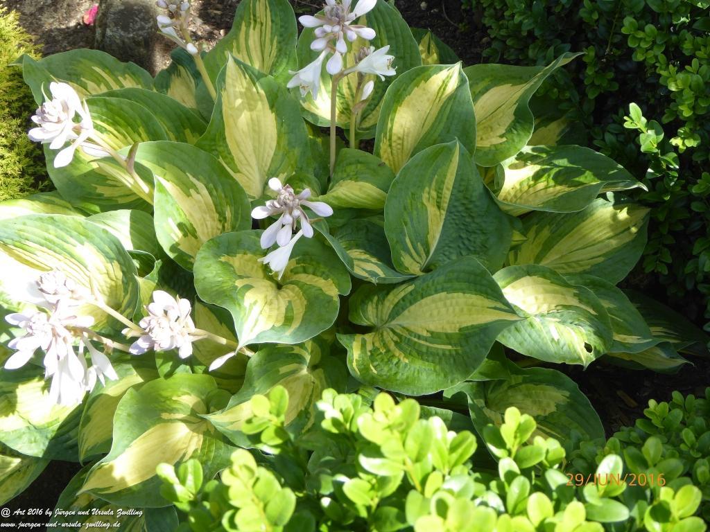 Funkien(Herzblattlilien) in voller Blüte