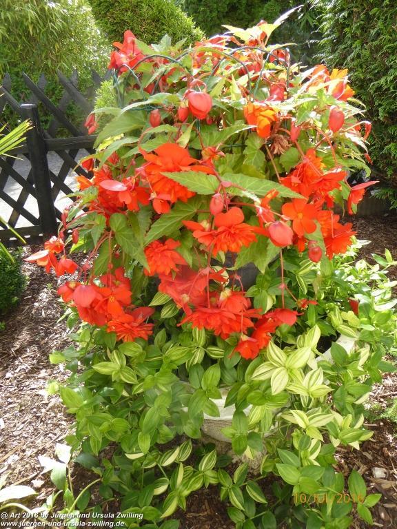 Begonien (Begonia) in rot
