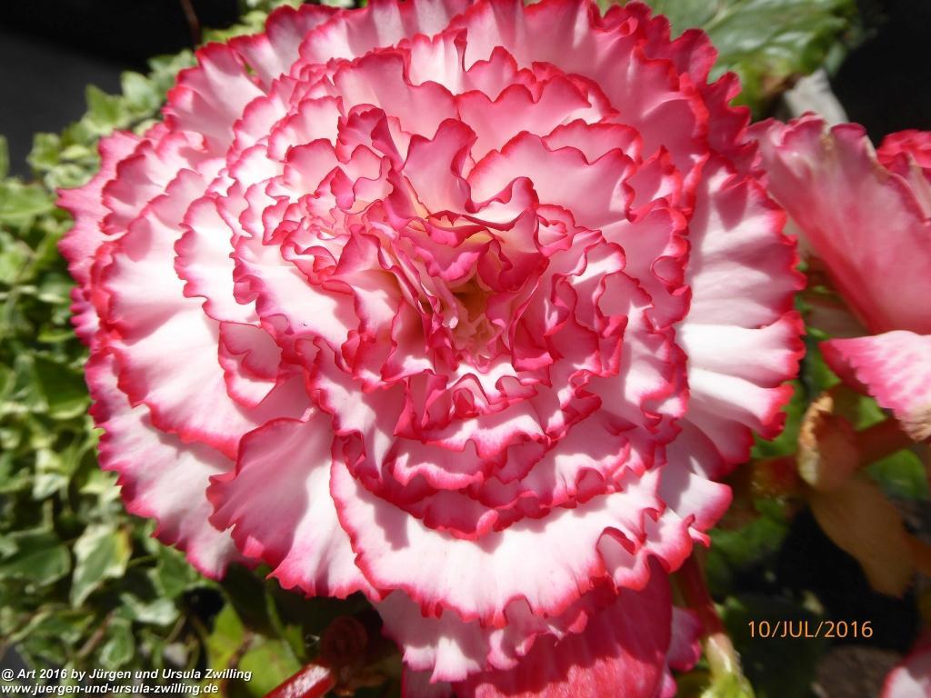 Begonien (Begonia) in rosa-weiß