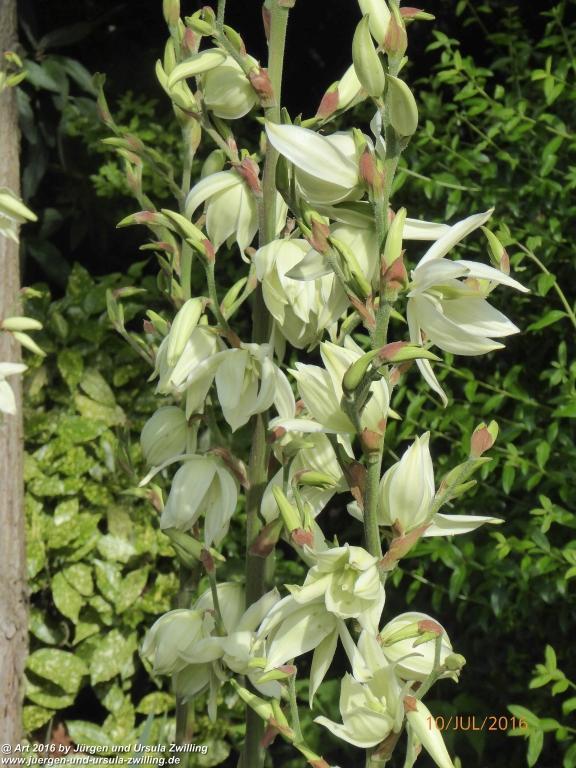 Palmlilie (Yucca filamentosa)