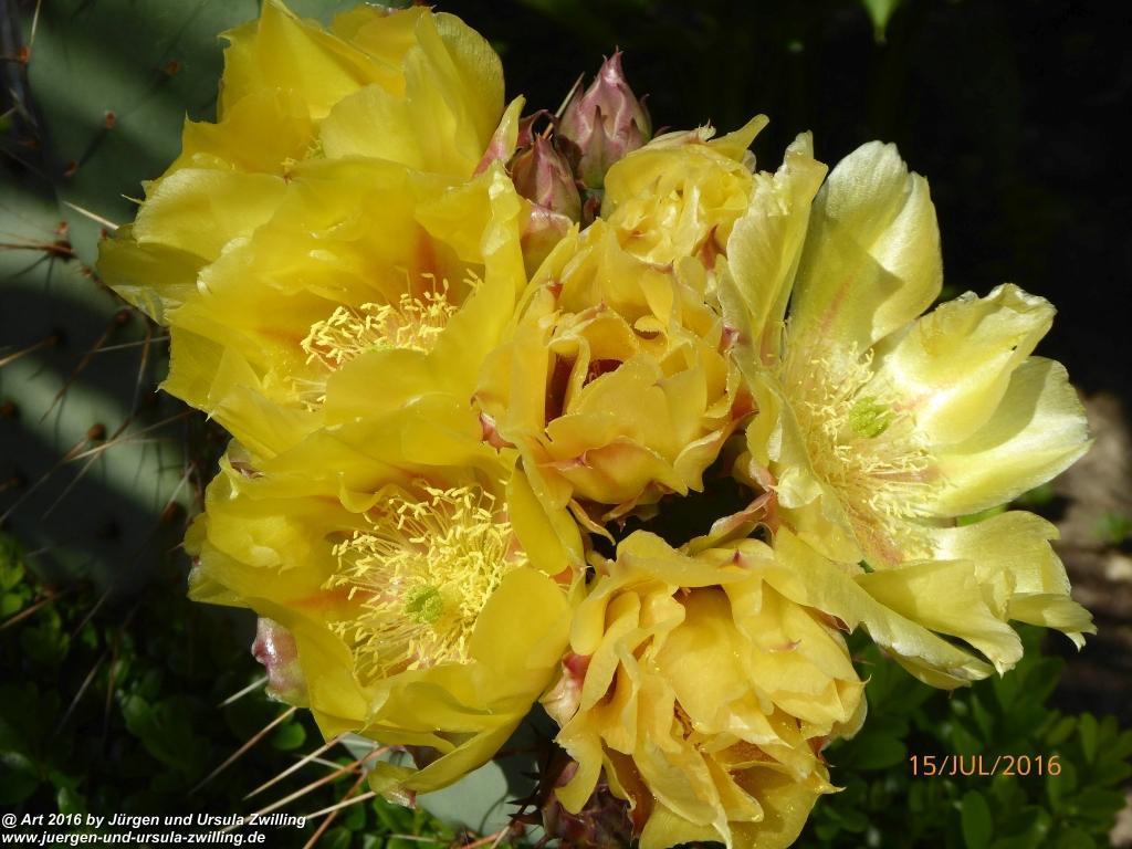 Blühende Opuntien