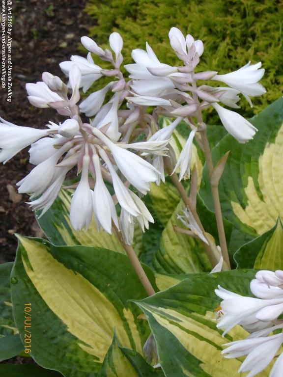 Funkien in voller Blüte